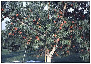 ももの樹の写真