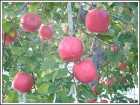 りんごと健康の写真