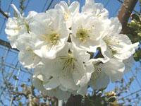 さくらんぼの花の写真