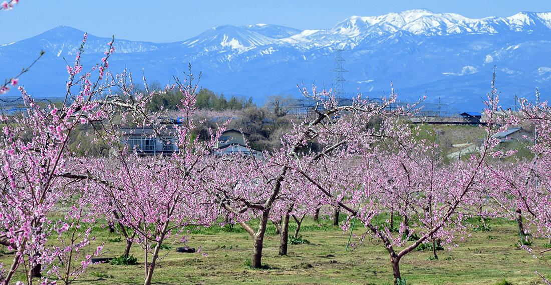 福島市のモモ畑