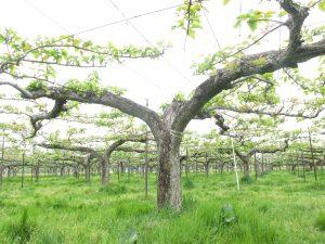 幸水の樹の様子