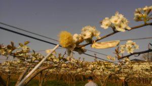 花粉交配作業の拡大写真
