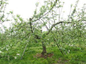 ふじの樹の写真