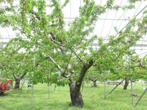佐藤錦の樹の写真