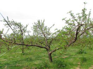 あかつきの樹の写真