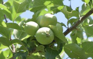 リンゴの実の写真