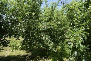 リンゴの木の写真