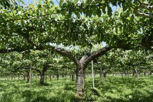 ナシの木の写真