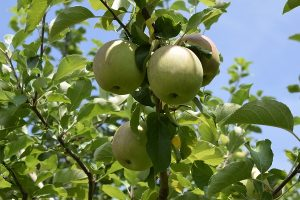 リンゴの実の様子