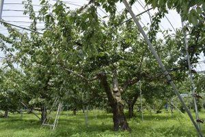 サクランボの木の様子