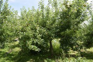 リンゴの樹の様子