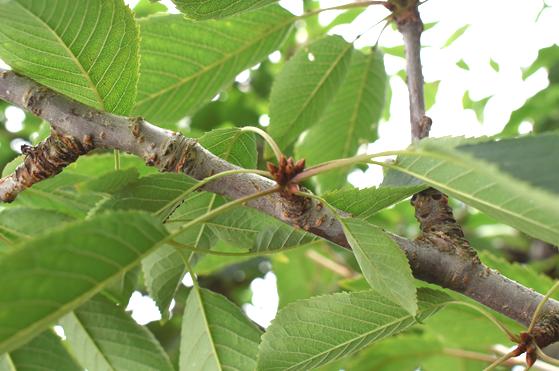 サクランボの芽