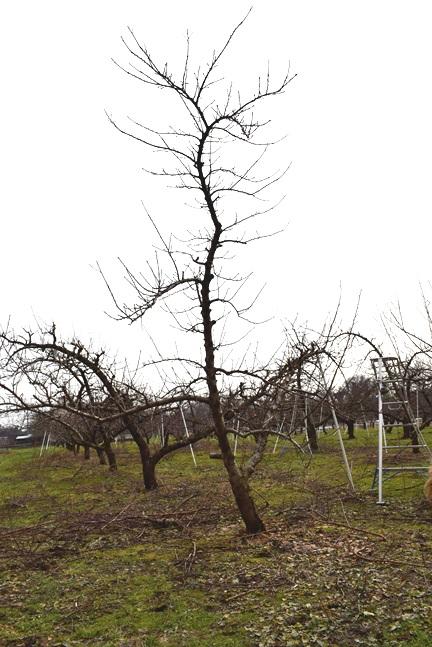 剪定後の樹の様子(北側から)