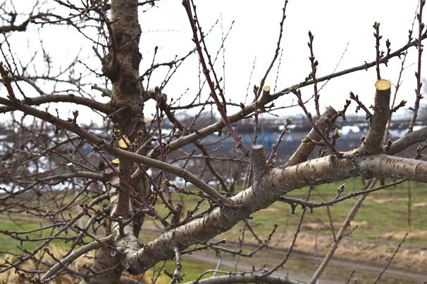 剪定された枝の切り口の様子