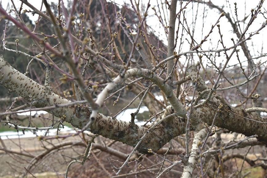 剪定前の枝の様子②